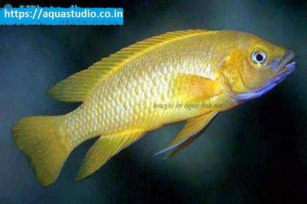 buy Lemon cichlid Ahmedabad Gujarat India