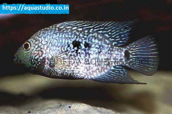 buy Lowland cichlid Ahmedabad Gujarat India