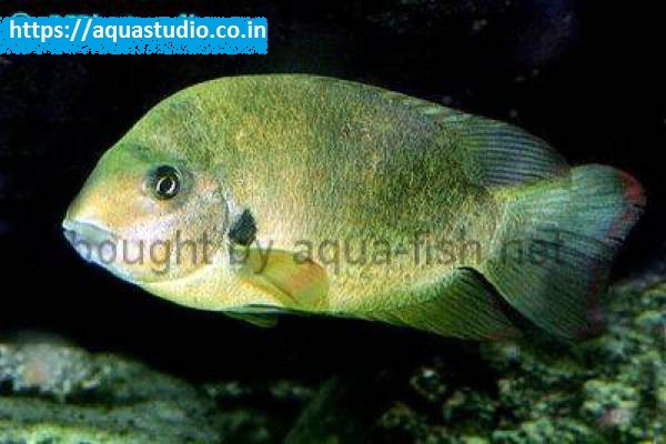 buy Madagascar cichlid Ahmedabad Gujarat India