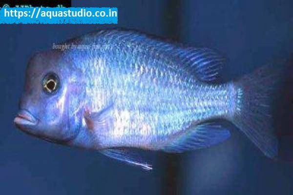 buy Malawi blue dolphin Ahmedabad Gujarat India
