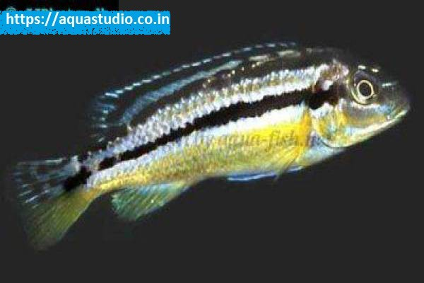buy Malawi golden cichlid Ahmedabad Gujarat India