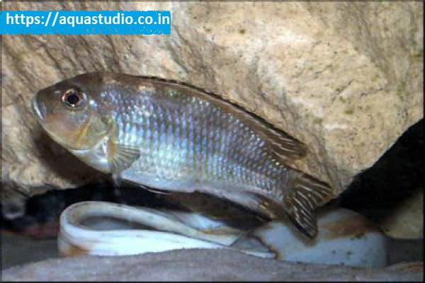 buy Malawi shell dweller Ahmedabad Gujarat India