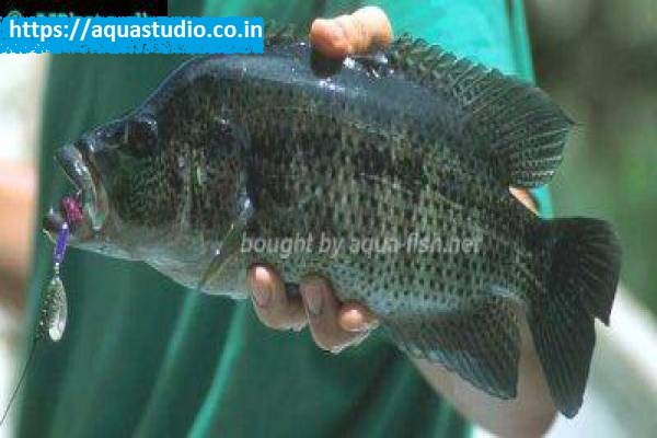 buy Mayan cichlid Ahmedabad Gujarat India