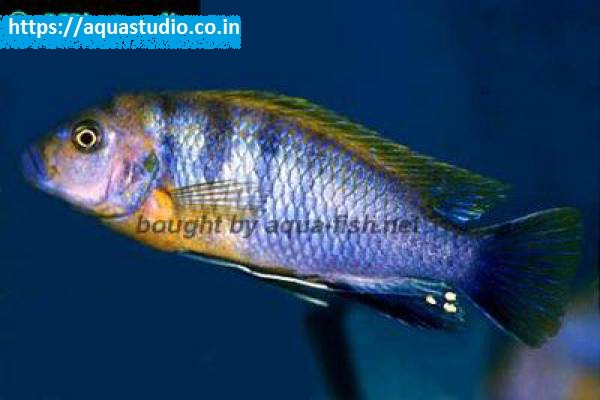 buy Mbuna cichlid Ahmedabad Gujarat India