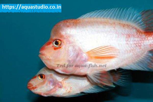 buy Midas cichlid Ahmedabad Gujarat India