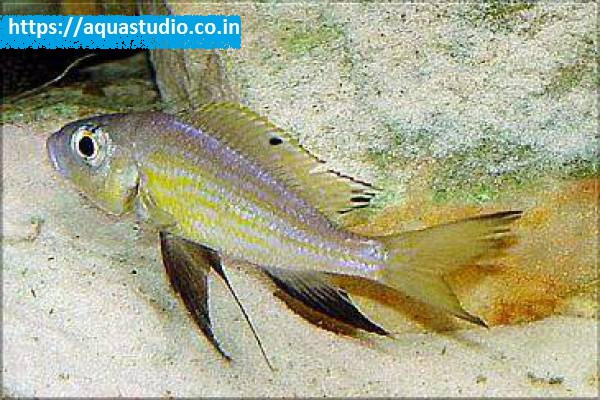 Buy Aulonocranus dewindti at AquaStudio