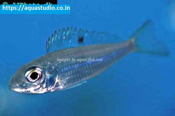 buy Ectodus descampsii Ahmedabad Gujarat India