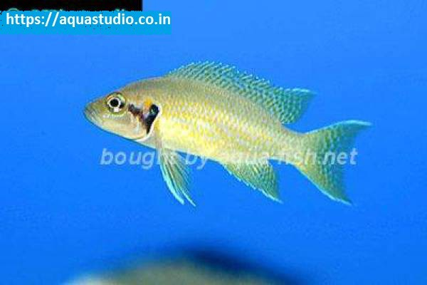 buy Neolamprologus helianthus Ahmedabad Gujarat India