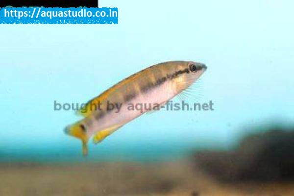 buy Crenicichla compressiceps Ahmedabad Gujarat India