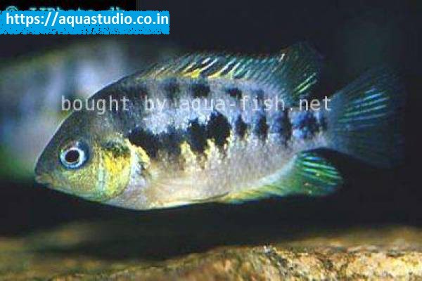 buy Archocentrus nanoluteus Ahmedabad Gujarat India
