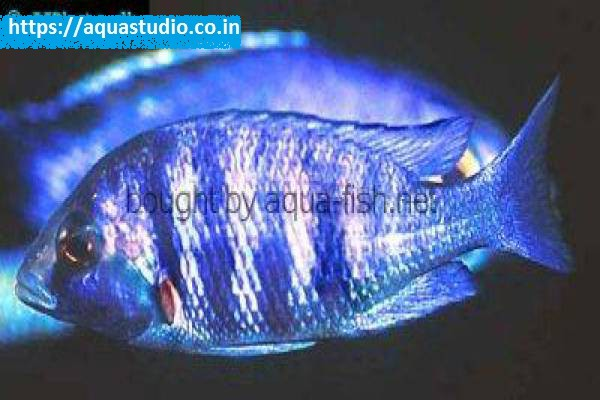 buy Haplochromis phenochilus Ahmedabad Gujarat India