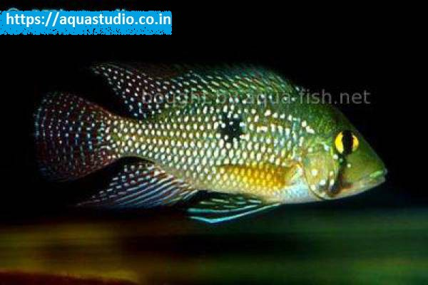 buy Geophagus iporangensis Ahmedabad Gujarat India