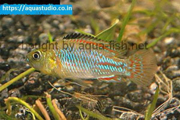 buy Nichols dwarf mouthbrooder Ahmedabad Gujarat India