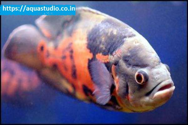 buy Oscar fish Ahmedabad Gujarat India