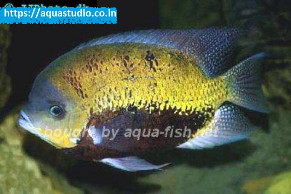 buy Pantano cichlid Ahmedabad Gujarat India