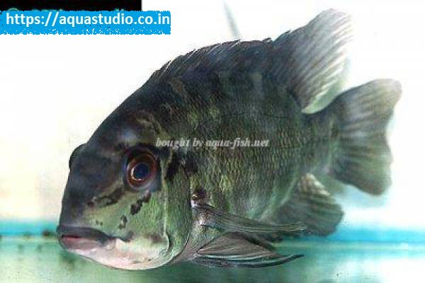 buy Parrot cichlid Ahmedabad Gujarat India