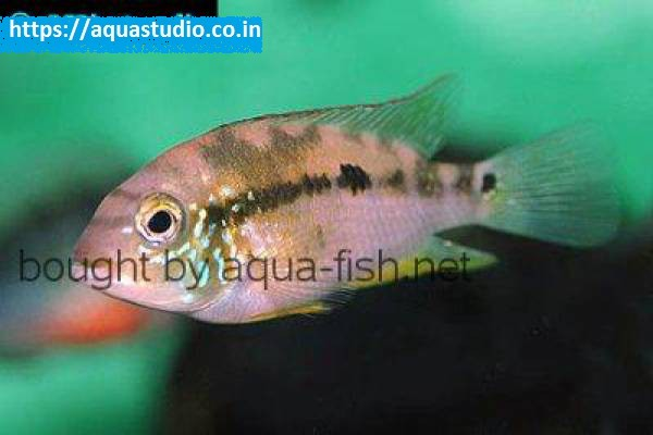 buy Pastel cichlid Ahmedabad Gujarat India
