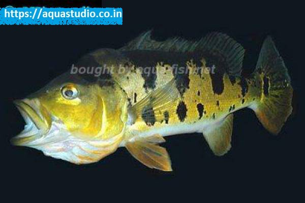 buy Peacock bass Ahmedabad Gujarat India