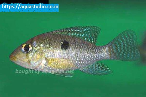 buy Pearl cichlid Ahmedabad Gujarat India