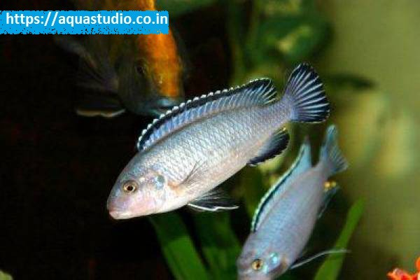 buy Powder blue cichlid Ahmedabad Gujarat India