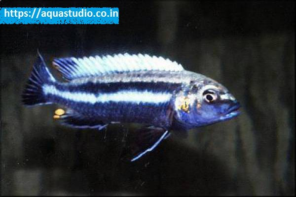 buy Purple mbuna Ahmedabad Gujarat India