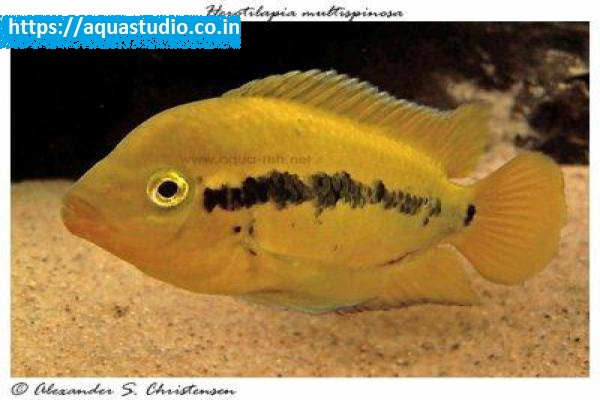 buy Rainbow cichlid Ahmedabad Gujarat India