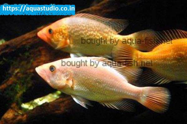 buy Red bay snook Ahmedabad Gujarat India