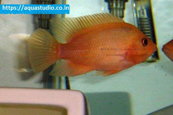 buy Red devil cichlid Ahmedabad Gujarat India