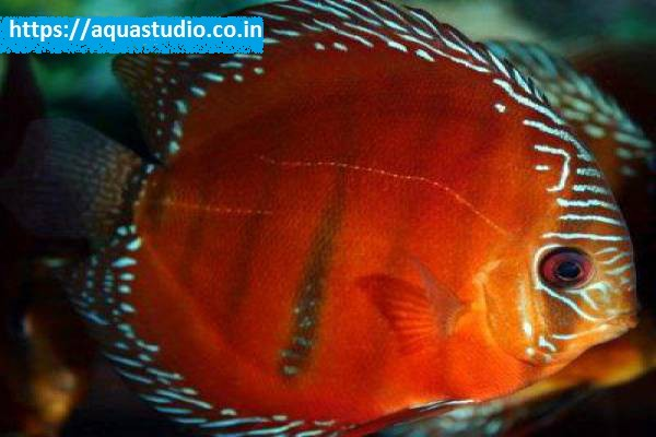 buy Red discus Ahmedabad Gujarat India