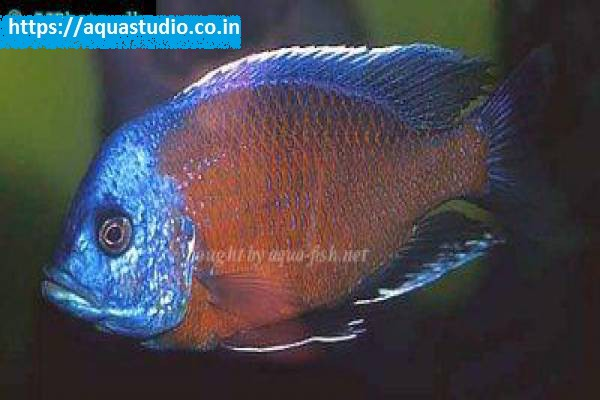 buy Red Fin Ahmedabad Gujarat India