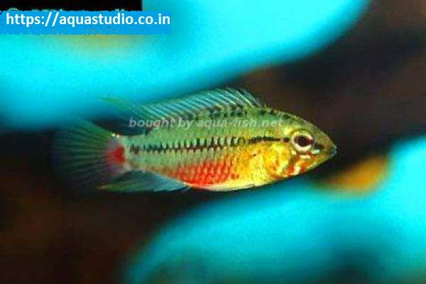 buy Redstripe dwarf cichlid Ahmedabad Gujarat India
