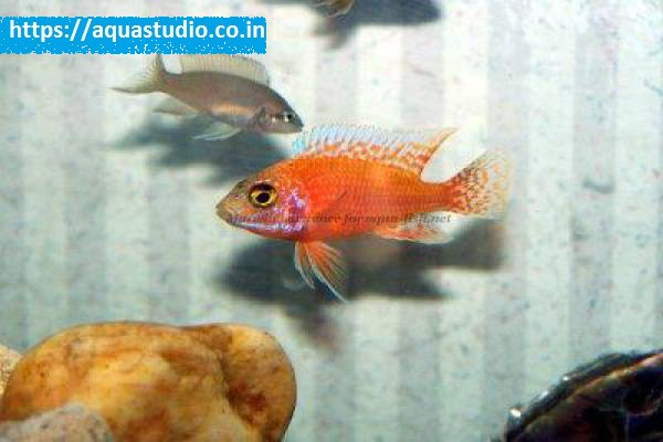 buy Ruby red peacock Ahmedabad Gujarat India
