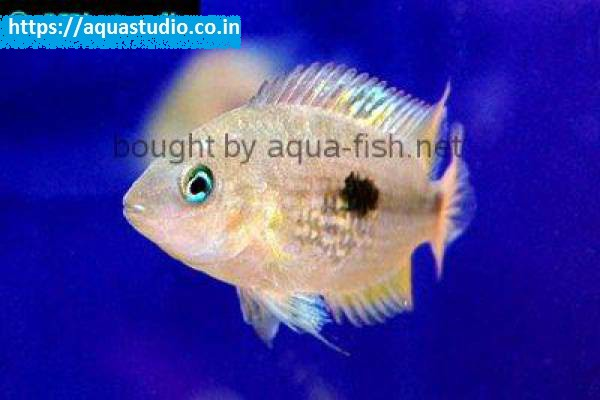 buy Seven stripe cichlid Ahmedabad Gujarat India