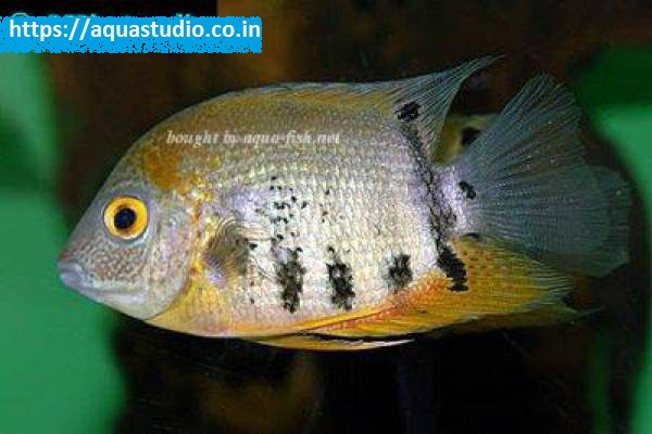 buy Severum Ahmedabad Gujarat India