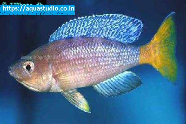 buy Slender cichlid Ahmedabad Gujarat India