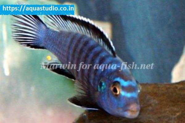 buy Slender mbuna Ahmedabad Gujarat India