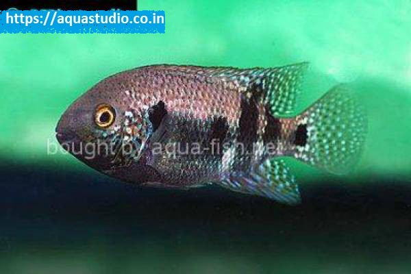 buy Southern checkmark cichlid Ahmedabad Gujarat India