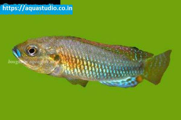buy Southern mouthbrooder Ahmedabad Gujarat India