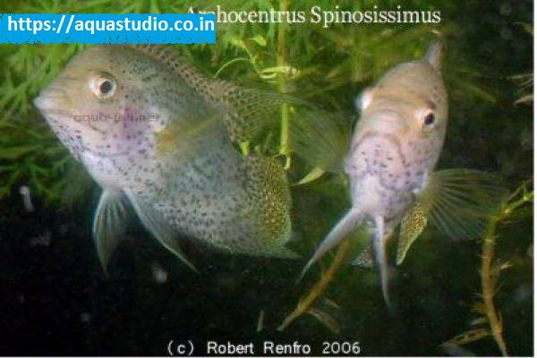buy Spiny cichlid Ahmedabad Gujarat India