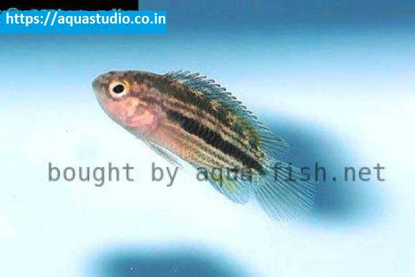 buy Striped dwarf cichlid Ahmedabad Gujarat India