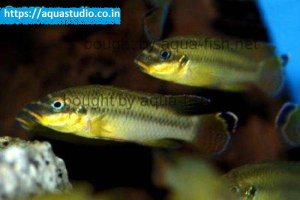 buy Striped kribensis Ahmedabad Gujarat India