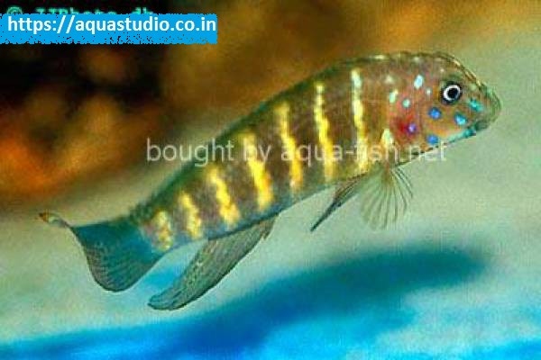 buy Tanganyika clown Ahmedabad Gujarat India