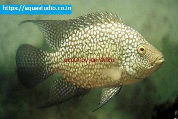buy Texas cichlid Ahmedabad Gujarat India