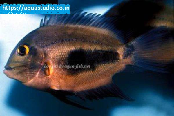buy The Uaru cichlid Ahmedabad Gujarat India