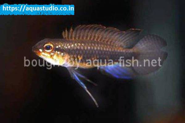 buy Threadfinned dwarf cichlid Ahmedabad Gujarat India