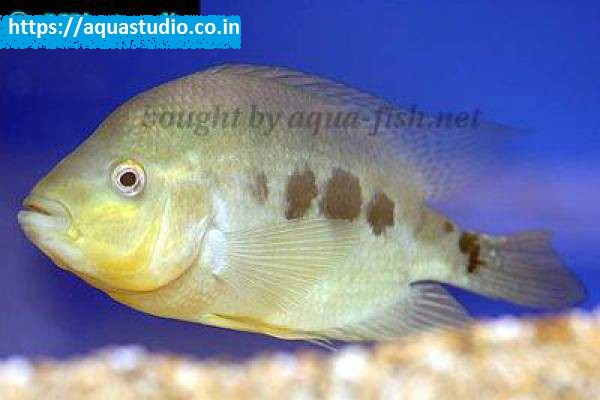 buy Three spot cichlid Ahmedabad Gujarat India