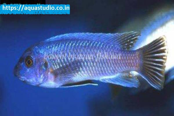 buy Trewavas mbuna Ahmedabad Gujarat India