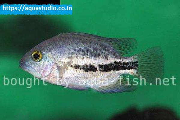 buy Twoband cichlid Ahmedabad Gujarat India
