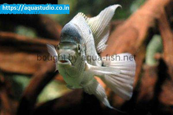 buy White cichlid Ahmedabad Gujarat India