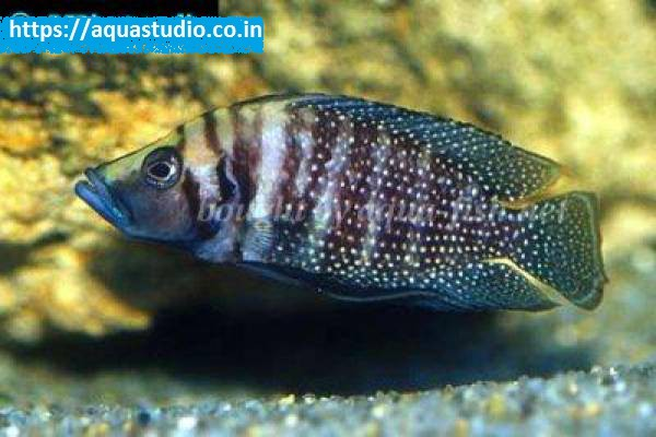 buy White lamprologus Ahmedabad Gujarat India